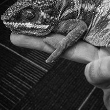 Maximilian, the Office Chameleon